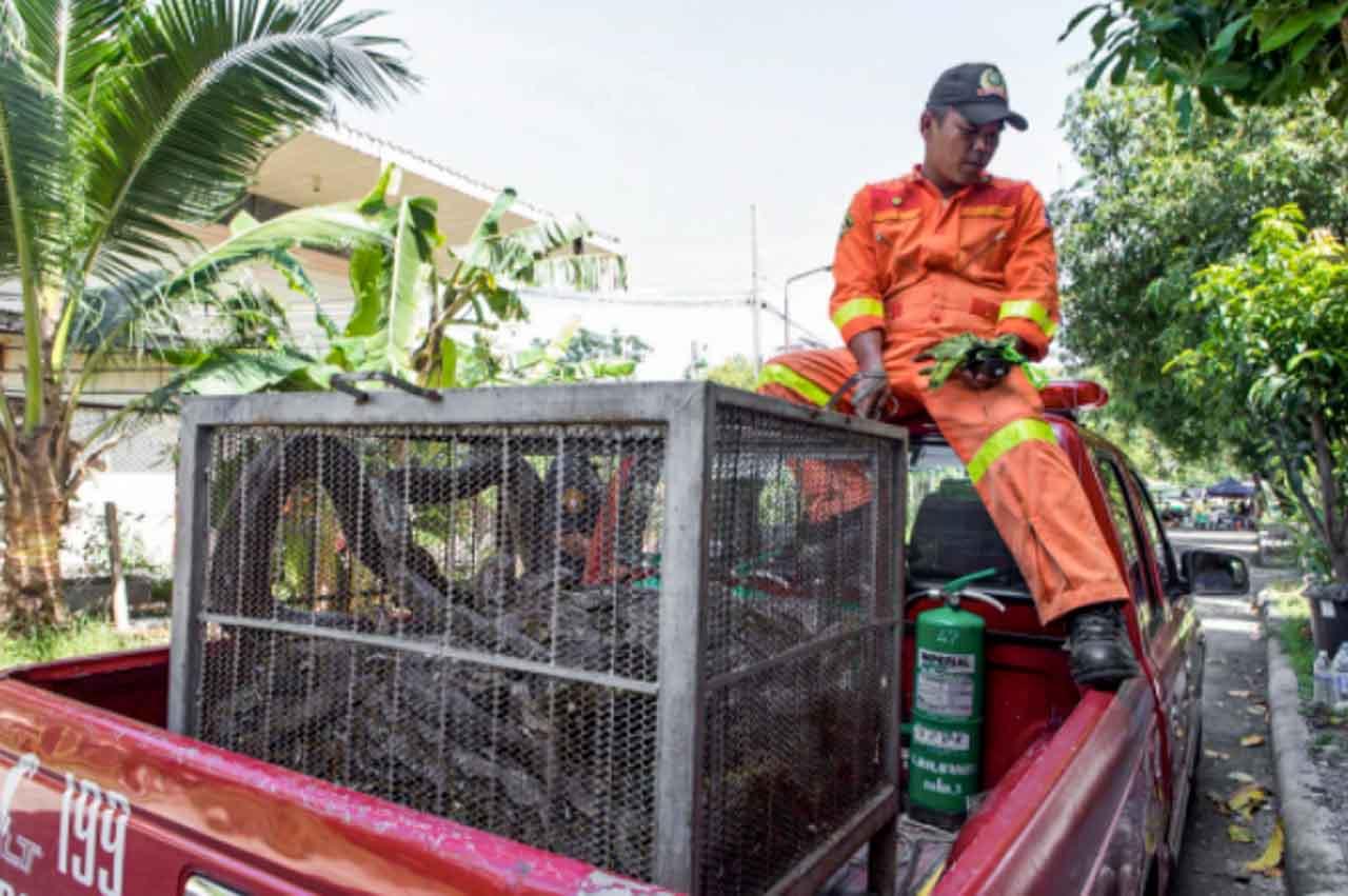 Cobras na Tailândia sendo levadas a um ambiente seguro.