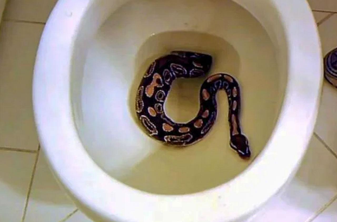 Cobra saindo de privada na Tailândia.