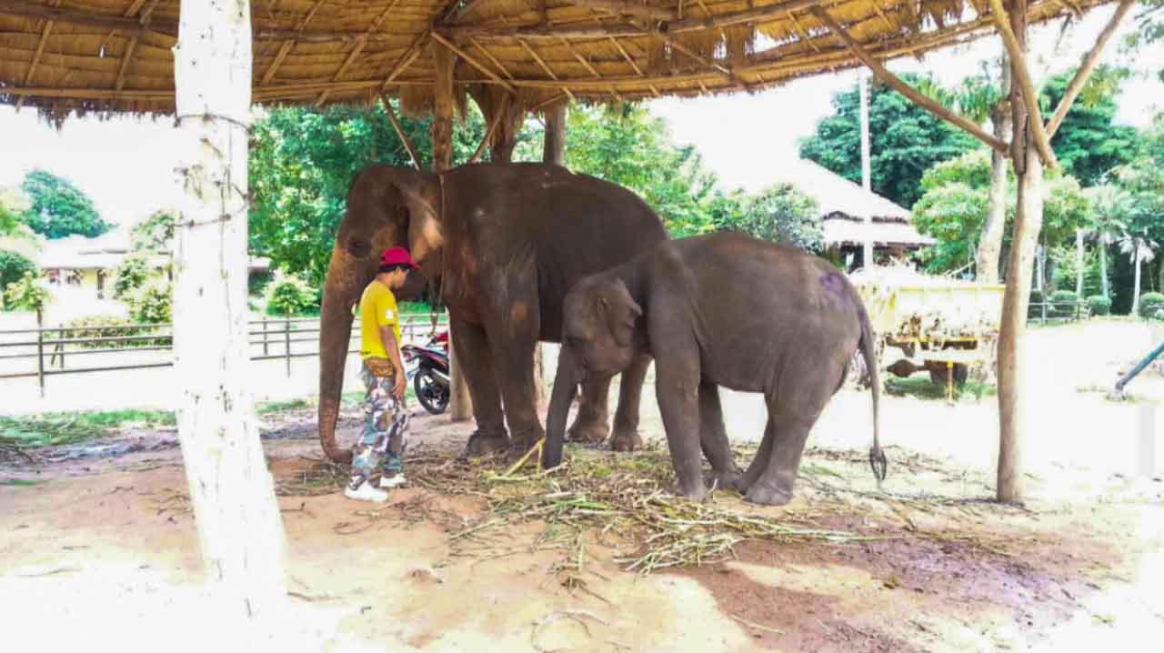 Elefante sofrendo exploração animal por causa do turismo na Tailândia.