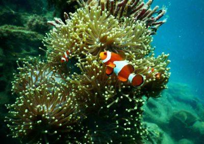Mergulho em Koh Tao Tailândia - nemo - peixe palhaço